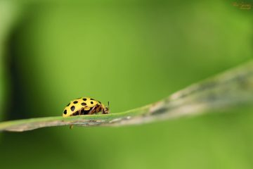 Yellow leaf beetle (Wide-ranging diversity)